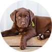 Cholocate Lab Puppy
