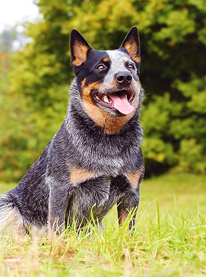 Medium Sized Dog Breeds