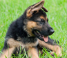 Top Smartest Dog Breeds