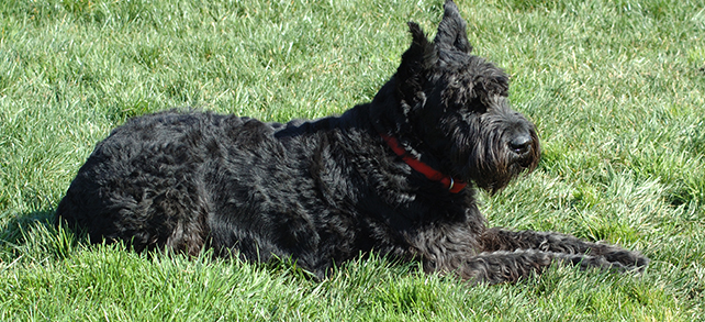 The Definitive Guide To Affenpinscher Dogs