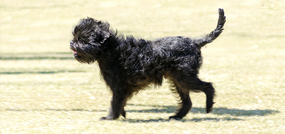 Affenpinscher Facts