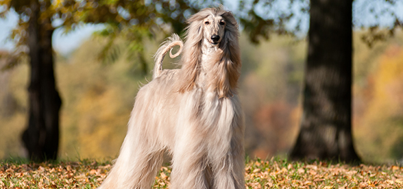 Afghan Hound Dogs 101 Information