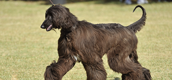 Afghan Hound Dogs Exercise And Personality