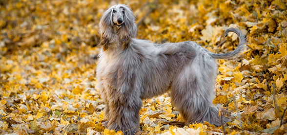 Afghan Hound Dogs Facts Characteristics