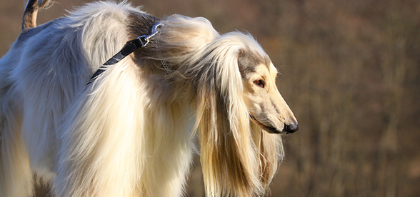 Afghan Hound Dogs Health Problems And Lifespan