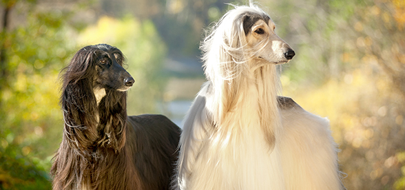 Afghan Hound Dogs Origin And History