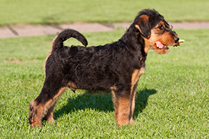 Airedale Terrier Dog Breeds