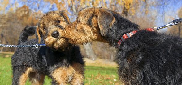 Airedale Terrier Dogs Exercise And Personality