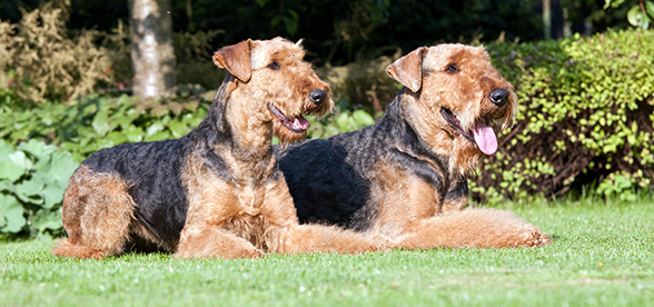 Airedale Terrier Dogs Facts And Characteristics