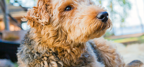 Airedale Terrier Dogs Feeding And Diet