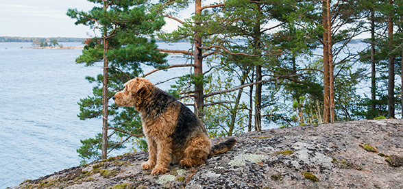 Airedale Terrier Dogs Origin And History