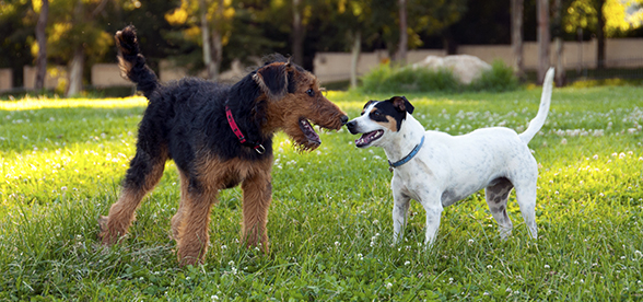 Airedale Terrier Dogs Temperament And Training