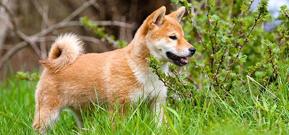 Akita Dogs Exercise Personality