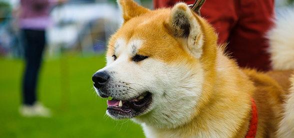 Akita Dogs Health Problems And Lifespan