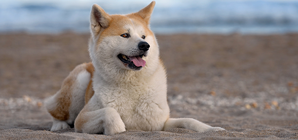 Akita Dogs Origin And History