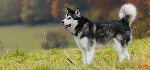 Alaskan Malamute Dogs Exercise Personality