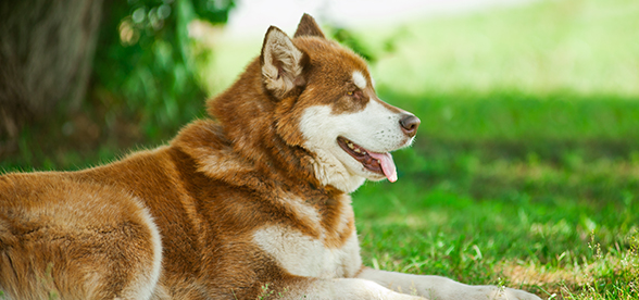 Alaskan Malamute Dogs Feeding Diet