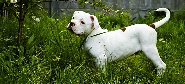 The Definitive Guide To American Bulldogs