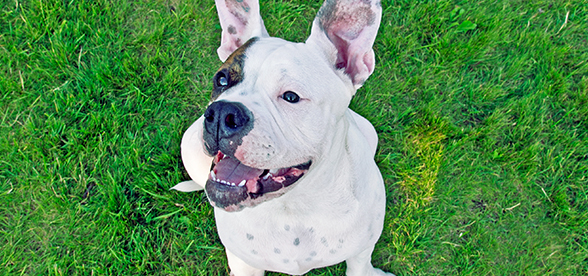 American Bulldog Temperament And Training