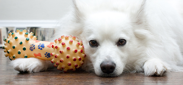American Eskimo Dog Facts Characteristics