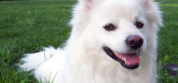American Eskimo Dog Feeding Diet