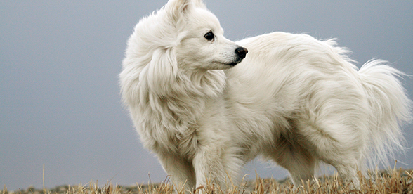 American Eskimo Dog Health Problems Lifespan