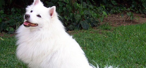 American Eskimo Dog Temperament And Training
