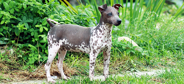 American Hairless Terrier Dog Breed