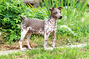 American Hairless Terrier Dog Breeds