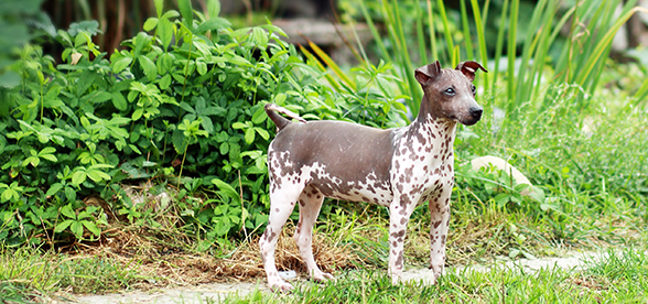 American Hairless Terrier Dogs Exercise And Personality