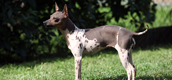 American Hairless Terrier Dogs Health Problems And Lifespan