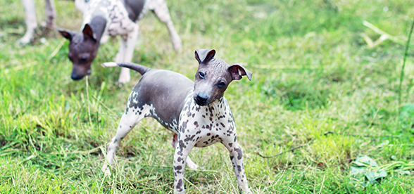 American Hairless Terrier Dogs Origin And History