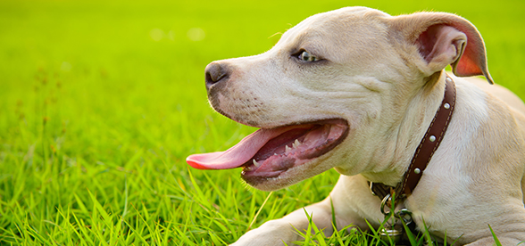 American Pitbull Terrier Dog Exercise Personality