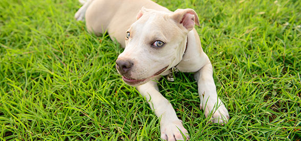American Pitbull Terrier Dog Origin Histoy