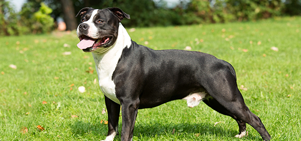 American Staffordshire Terrier Dog Health Problems Lifespan