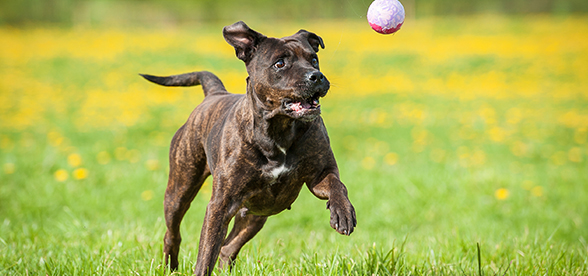 American Staffordshire Terrier Dog Origin History