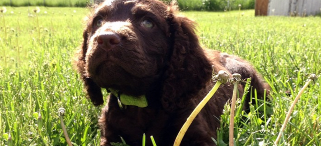 The Definitive Guide To American Water Spaniel Dogs