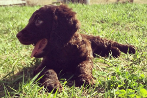 American Water Spaniel Dog Breeds