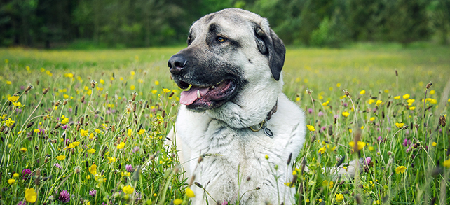 The Definitive Guide To Anatolian Shepherd Dogs