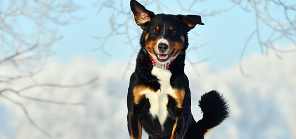 Appenzeller Sennenhunde Dog Exercise And Personality