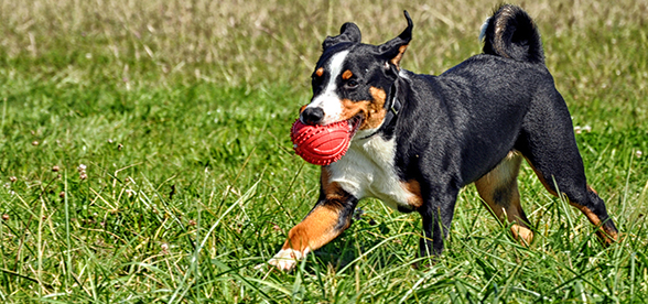 Appenzeller Sennenhunde Dog Facts And Characteristics