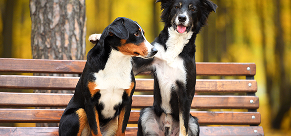 Appenzeller Sennenhunde Dog Temperament And Training