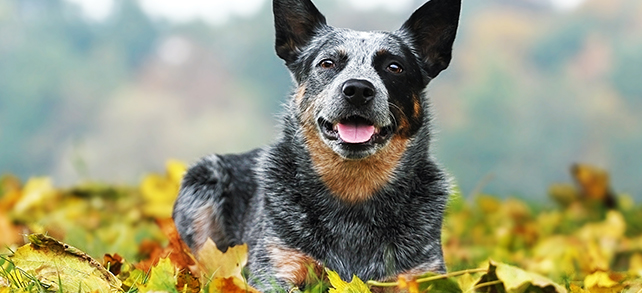Australian Cattle Dog Breed