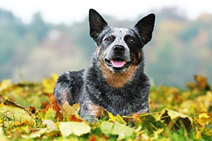 Australian Cattle Dog Breeds