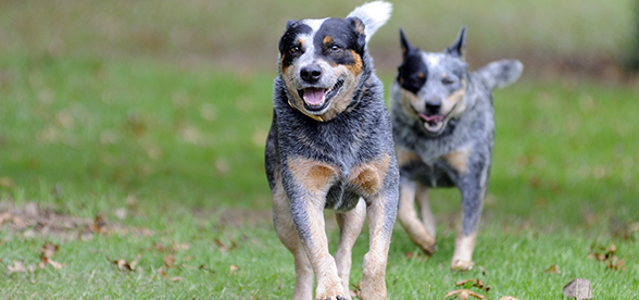Australian Cattle Dog Exercise And Personality