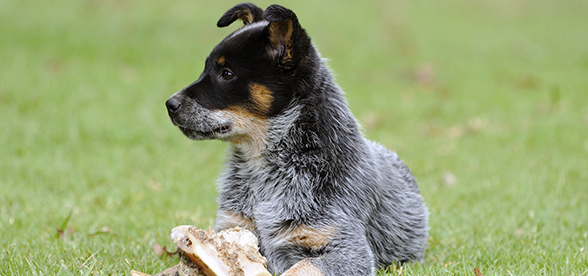 Australian Cattle Dog Facts And Characteristics