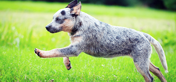 Australian Cattle Dog Temperament And Trainging