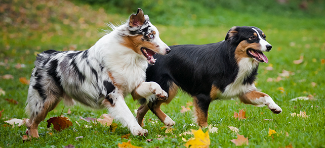 The Definitive Guide To Australian Shepherd Dogs