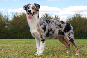 Australian Shepherd Dog Breeds