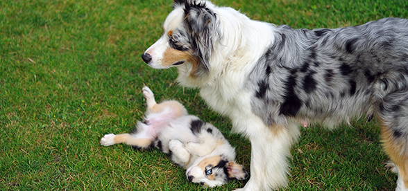 Australian Shepherd Dog Exercise And Personality